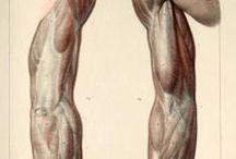 Anatomía / Brazos
