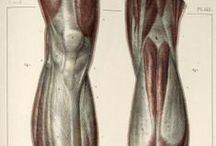 Anatomía / Pernas