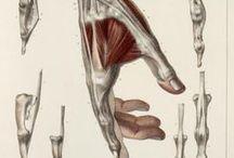 Anatomía / Mans