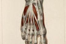 Anatomía / Pés