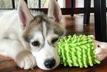 My Husky Addiction / A board for all things Siberian Husky, as I am the paw parent of Harley the Super Husky. You will also find dog treat recipes and all sorts of cuteness :)
