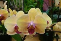 Honolulu Orchid Show 2013