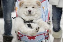 ADORABLE CHOW CHOWS!! / I am gonna get one!!! / by NinjaKitty😋