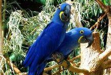Pappagalli / Una raccolta delle varie specie e sottospecie di pappagalli. Potete trovare le schede informative sul sito di Animali Volanti.