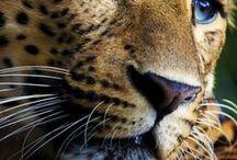 ΑΙΛΟΥΡΟΕΙΔΗ :: FELINE / Αγρια + Οικοσιτα :: Wild + Domestic