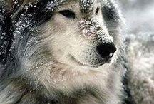 ΚΥΝΟΦΙΛΙΑ :: CANINE LOVE NoPinLimits / Σκύλος - Λύκος - Tσακάλι :: Dog - Wolf - Jackal