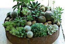 Suculentas / Cactus / Centros
