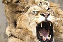 Lwy,pantery,tygrysy.....