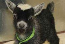 Goats / by Beverly Geller