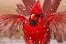 Cardinals / by Beverly Geller