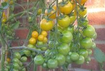 Tomato Growers Club / Tomato Growers Club is our facebook page for everything Tomato https://www.facebook.com/TomatoGrowersClub