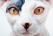 Animals / zwięrzęta / Cat, dog, cow, fox / kot, pies, krowa, lis.