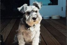 Maddie ♥ / Maddie was a beloved Miniature Schnauzer whose unconditional love, devotion, loyalty and spirit inspired her guardians to start a charitable foundation, Maddie's Fund, in her name.