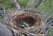 Nests! / Interesting nests from western birds