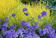 Blue/purple flowers