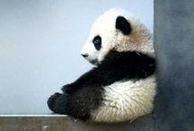 I want a panda!