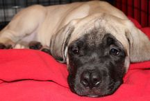 Puppy Love / Pictures of our English Mastiff Gunner and other helpful dog things :)