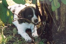 Adorable Springers / We've had the privilege of owning three springers Chip,Bosun and now Willow.She brings us  love,joy and mischief . / by Helen Richards