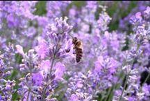 Méhek / Bienen / Bees