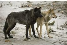 Wolf | Coyote