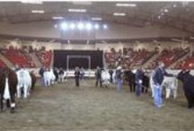 Livestock Shows / Famous livestock shows around the world.