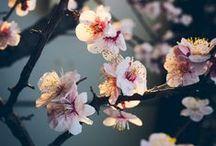 """Sakura (Cherry blossom) / ~ In Japonia,florile de cires """"Sakura"""" sunt considerate flori nationale si intruchipeaza fericirea, frumusetea ,politetea/curtoazia si modestia, iar in China sunt considerate un puternic simbol al puterii si al dragostei.~"""