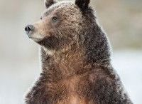Grizzly 399 / The World's Most Famous Bear