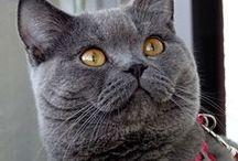 Beautiful British Shorthair Cats / Dante, the most beautiful british shorthair blue...or chartreux...or something like that!