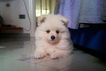 SPRITZ : my wonderfull Volpino / my sweety little Volpino dog