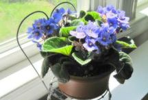 African Violets At Home / A board for your favorite African violets on display around the home or office.