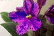 """Mini & Super-mini violets / Optimara Mini (2"""") and Super-Mini (1"""") African Violets.  http://myviolet.com/varieties"""