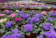 African Violet Greenhouse / Optimara greenhouse in Nashville TN. Register for the AVSA 2014 Convention (May 25 - June 1) and tour the greenhouse, the largest African Violet nursery in the USA! More info at http://www.avsa.org/convention
