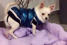 Chihuahua: a mi kis szerelmünk Zizó / our love