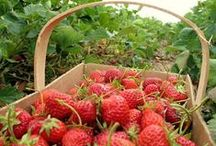 Strawberries - Hnojivo na jahody