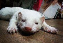 My  ferrets