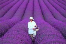 ~ Lavender ~ / by Kat Golop