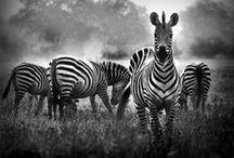 Zebras - Carcinoid neuroendocrine cancer