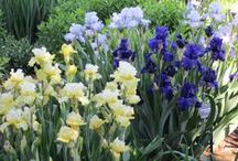 Bearded Iris Selections / Iris Germanica is one of the most hardy and enjoyable of garden plants, yet there are so many varieties that are not well known in the plant nurseries.  This List are some of my favorites.  To learn more about contacting me for landscape design or installation services click any board image
