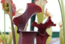 Pitcher Plants (Sarracenia) / Different variations of Sarracenia carried by FlyTrapShop.com