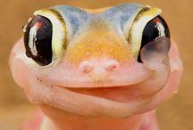 Crested Gecko/Lizzards / Ögonfransgecko
