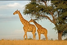 Travel to Africa / Planning a holiday to Africa? Vast bushlands, rugged mountains, stretches of undisturbed red desert and an abundance of wildlife, coupled with a friendly local culture, are all great ingredients for a recipe that is a memorable holiday in Africa. http://www.travellerschoice.com.au/africa-middle-east/