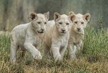 Big Cats / Grandi Felini