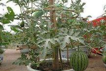 Grow fruit trees in pots
