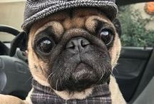Pug love / Get puggy. Dedicated to all pug lovers. Hug a pug. Pugs, not drugs.