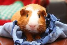 so you say Guinea Pig