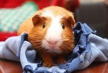 so you say Guinea Pig