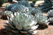 Cacti & Succulents / by Kathy Iveson