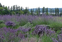 Lockwood Lavender Farm