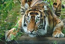 Tigers / RRRRRRRRROOOOOOOOOOOAAAAAAAAARRRRRRRRRRR