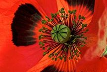 Poppy Luv / by Karen Paquette